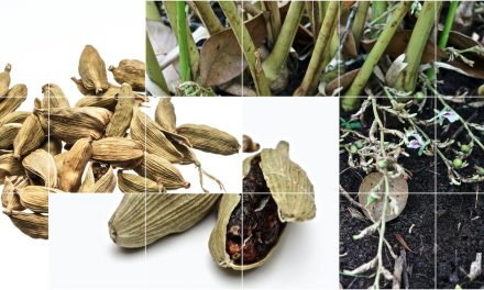Cardamom Kardamom Elettaria cardamomum | Periodics® Table of Spices