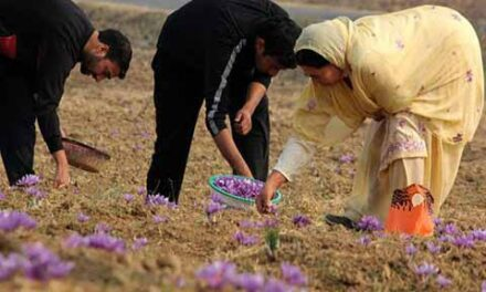 Saffron production in Kashmir | Greater Kashmir